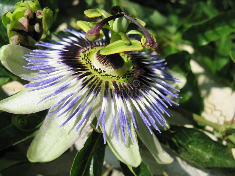 Passiflora. A close up of a colorful passion flower stock photo
