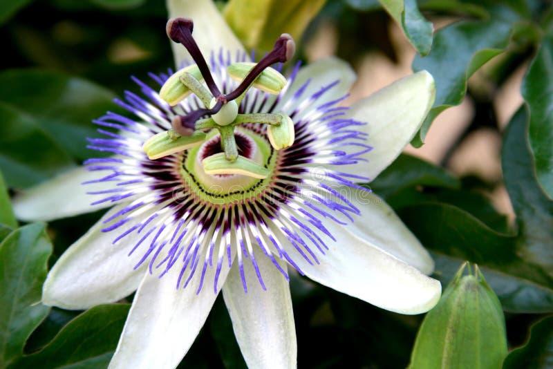 Passiflora Στοκ εικόνες με δικαίωμα ελεύθερης χρήσης