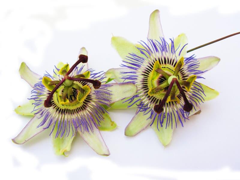 passiflora arkivbilder