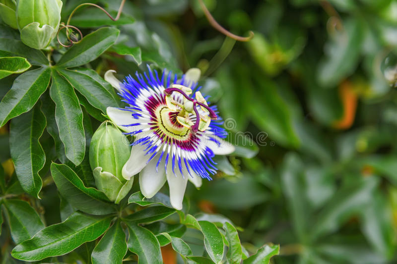 passiflora obrazy stock