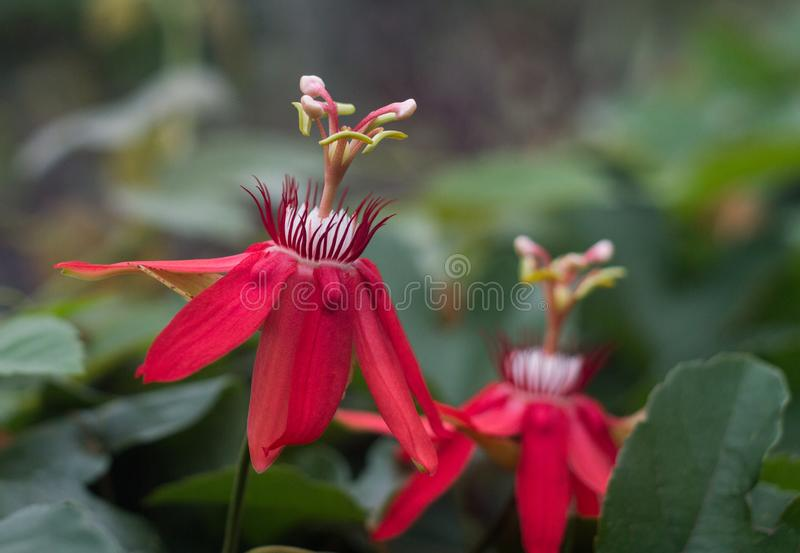 A passiflora with another blurred passiflora. Photo of a passiflora or passion flower taken with nikon d3200 and nikon e series lens royalty free stock photos
