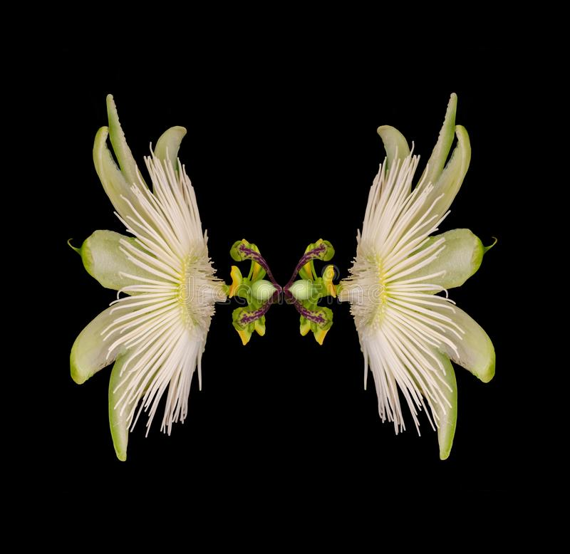 Passiflora as a double variant in its radiant beauty. Passion flower in white shines like a dancer against the dark background stock photos