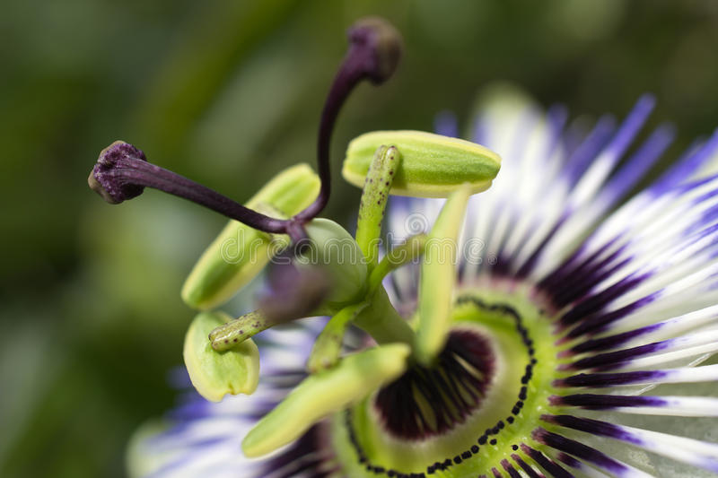 Passiflora in bloom. Flower of a blossoming passion royalty free stock images