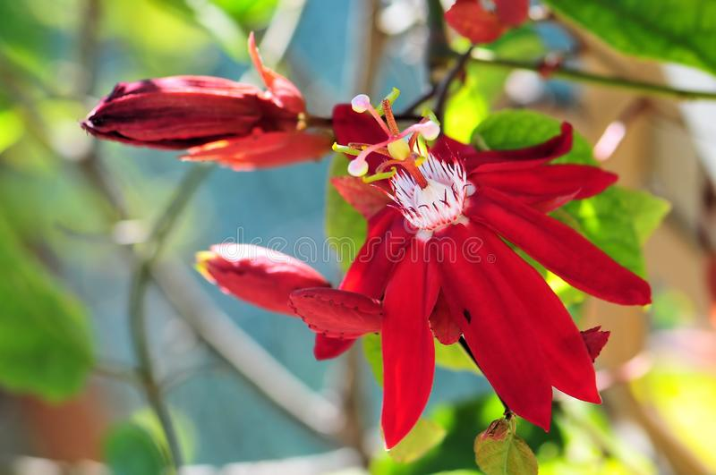 Passiflora and buds. A flower named Mary Jane in Butterfly World, South Florida. The Passiflora is also called passion vine or passion flower stock image