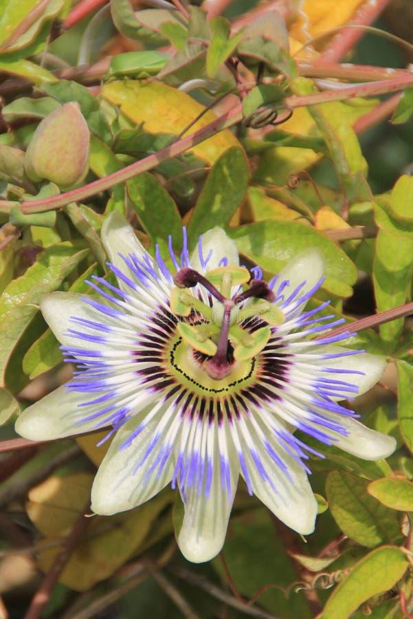 Passiflora Caerulea fotografia stock libera da diritti