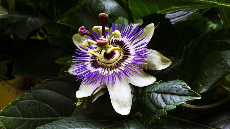 Passiflora Caerulea Blue Crown flower. The beautiful Passiflora Caerulea also known as Passion flower. Tropical Passion flower royalty free stock images