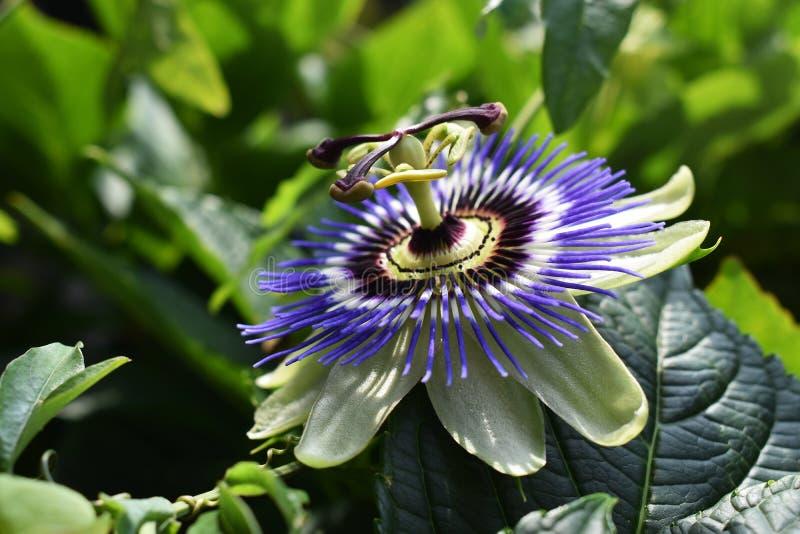 Passiflora Caerulea Blue Crown flower. The beautiful Passiflora Caerulea also known as Passion flower. Tropical Passion flower stock image