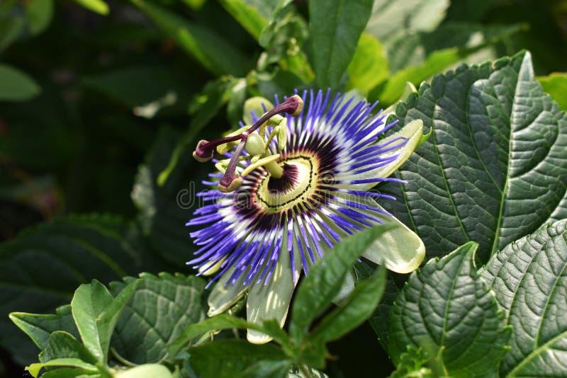 Passiflora Caerulea Blue Crown flower. The beautiful Passiflora Caerulea also known as Passion flower. Tropical Passion flower stock photography