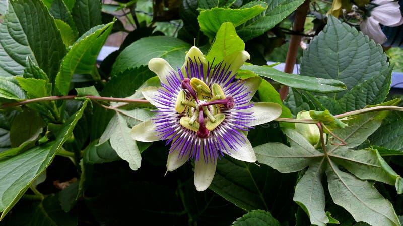 Passiflora Caerulea Blue Crown flower. The beautiful Passiflora Caerulea also known as Passion flower. Tropical Passion flower stock photo