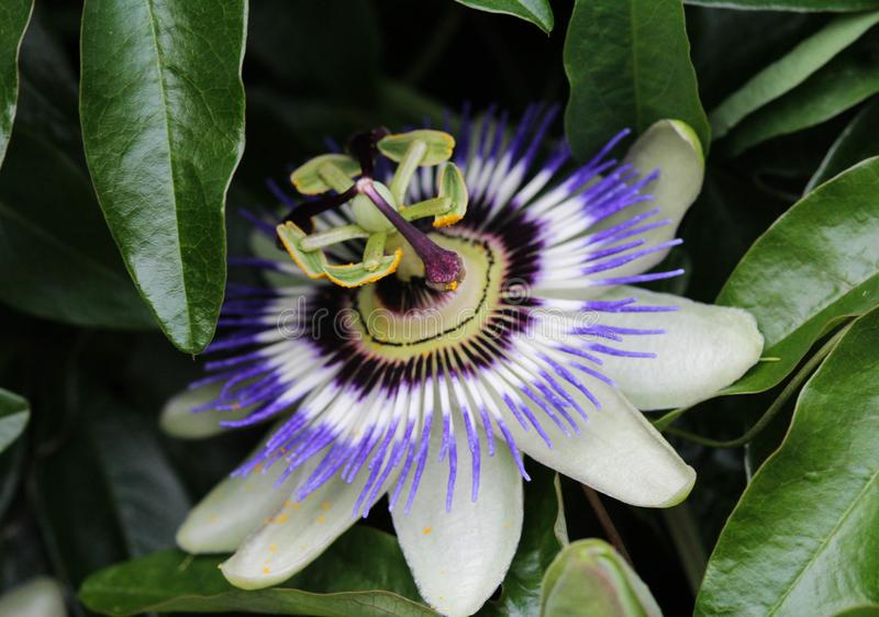 Passiflora caerulea, the blue passionflower, bluecrown passionflower or common passion flower, blooming in garden. Close up of Passiflora caerulea, the blue stock photography