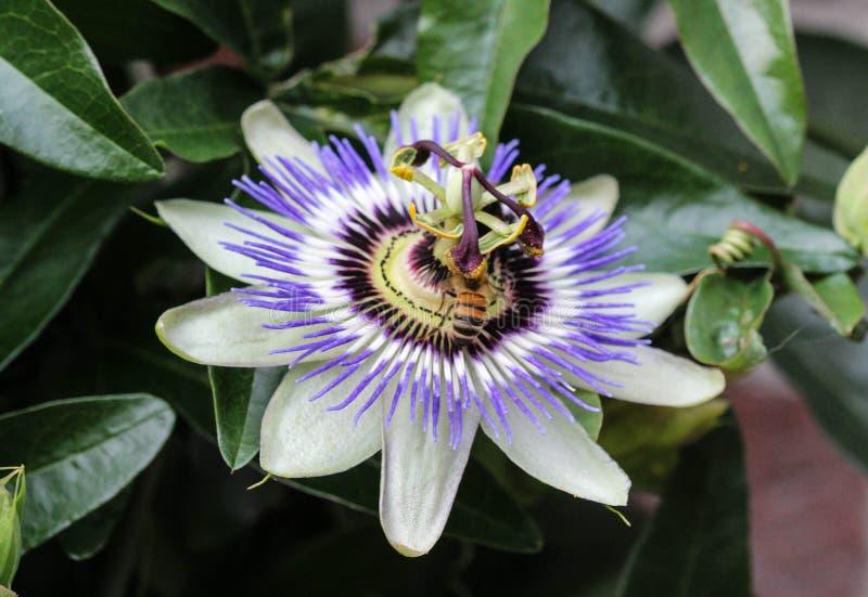 Passiflora caerulea, the blue passionflower, bluecrown passionflower or common passion flower, blooming in garden. Close up of Passiflora caerulea, the blue stock photos