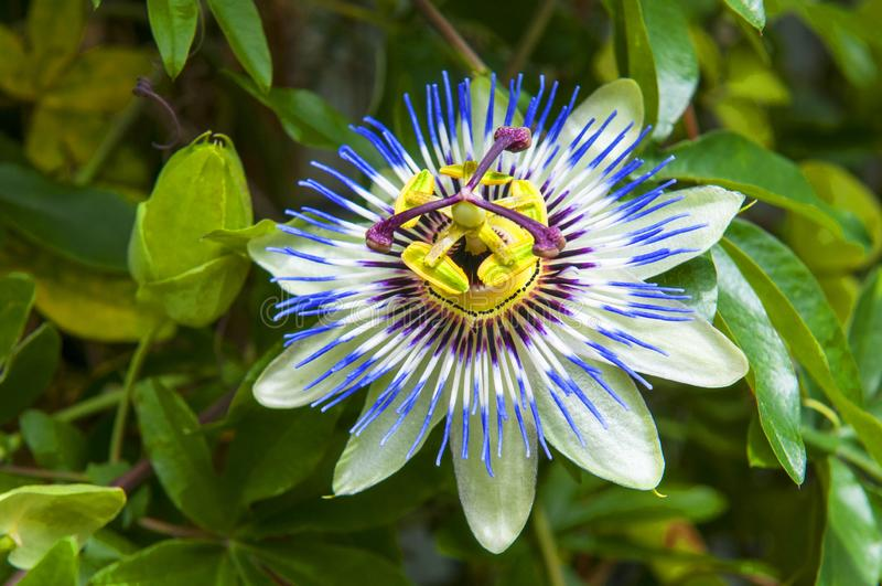 Passiflora caerulea, the blue passionflower, Japan. Passiflora caerulea, the blue passionflower, bluecrown passionflower or common passion flower, Japan royalty free stock images