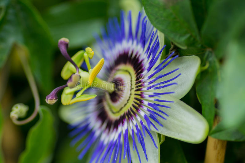 Passiflora caerulea flower. Macro of flower head center focus blur background in a park in a rural scene in the countryside garden UK royalty free stock photo