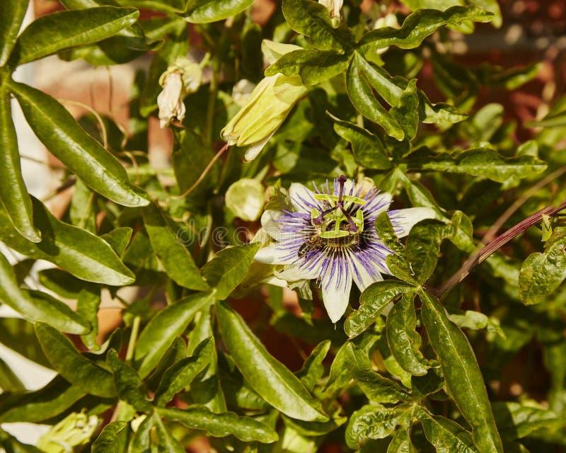 Passiflora caerulea. A Passflora caeurulea flower with a bee landing stock image