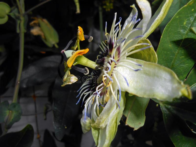Passiflora caerulea. The blue passionflower, bluecrown passionflower or common passion flower royalty free stock images