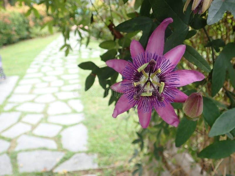 Passiflora caerulea royalty free stock photography