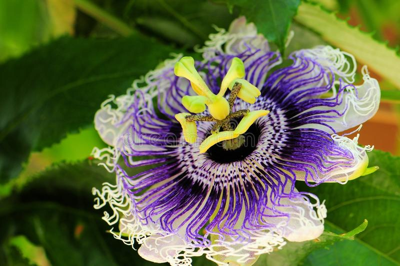 Passiflora called `Byron Beauty`. A passion flower or passion vine in Butterfly World, South Florida royalty free stock photography