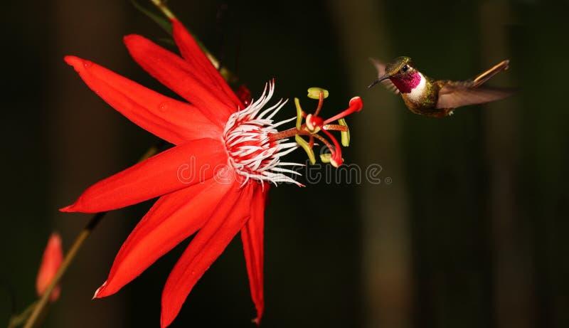 Passiflora coccinea with hummingbird. Red passiflora coccinea with hummingbird (Costa Rica stock image