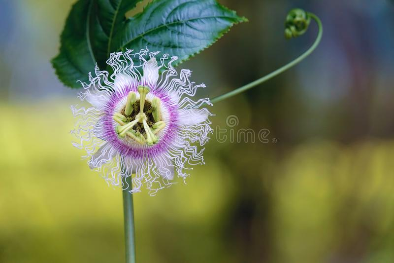 Passiflora coerulea flowers. The close-up of flowers of Passiflora coerulea royalty free stock photos