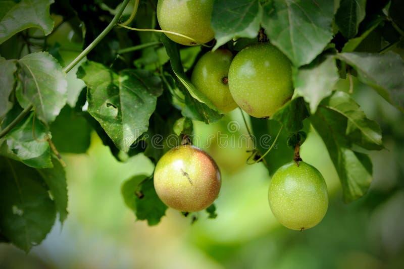Passiflora commestibile sulla vite fotografia stock libera da diritti