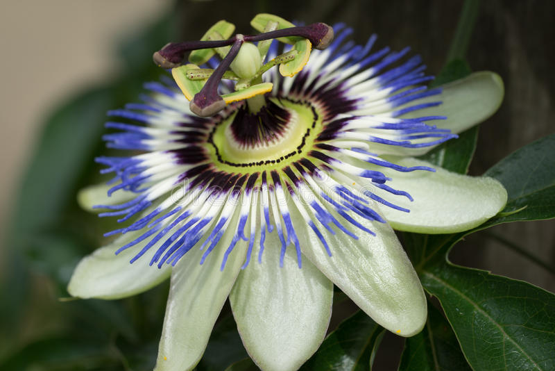 Passiflora, conhecido igualmente como a flor da paixão imagem de stock royalty free