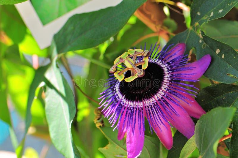 Passiflora del ` di Monika Fisher del ` fotografie stock libere da diritti