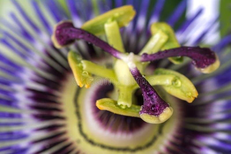 Passiflora della passiflora con le gocce di acqua della rugiada grande bello fiore fotografia stock libera da diritti