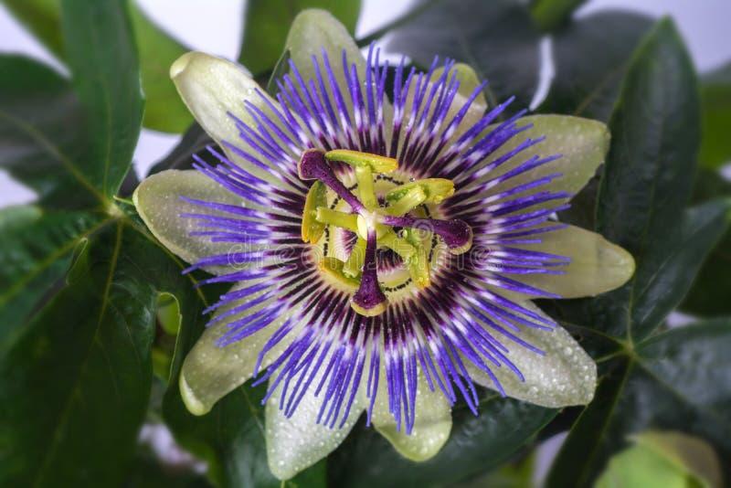 Passiflora della passiflora con le gocce di acqua della rugiada grande bello fiore fotografie stock libere da diritti