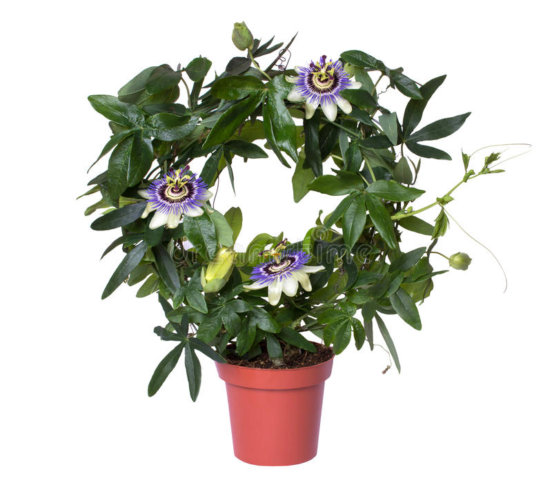 Passiflora di fioritura della passiflora in un vaso isolato su fondo bianco fotografie stock libere da diritti