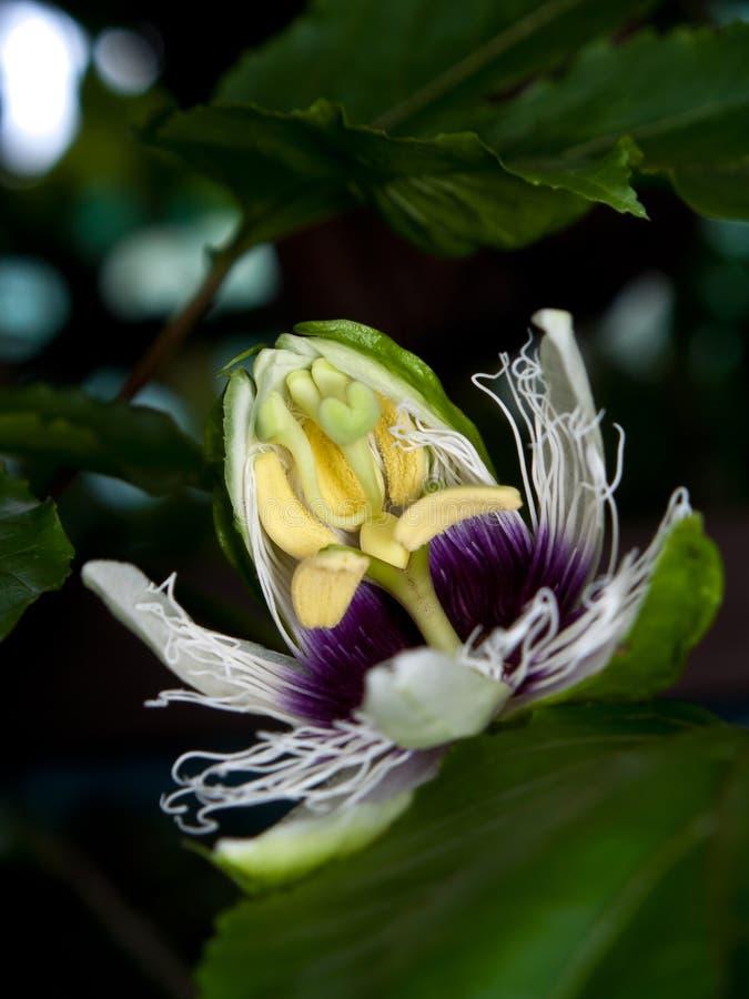 Passiflora edulis. Flower of Passiflora edulis blooming with foliage stock photo