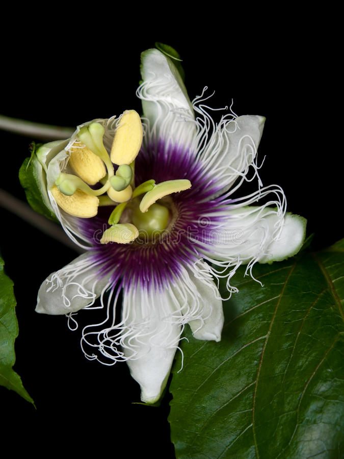 Passiflora edulis. Flower of Passiflora edulis blooming with foliage royalty free stock image