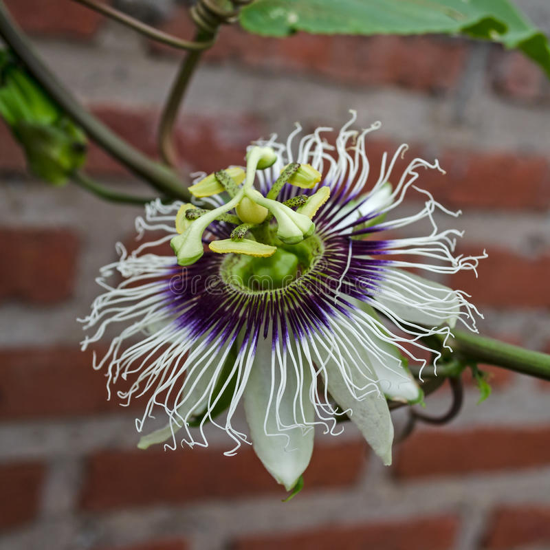 Passiflora edulis kwiat zdjęcia stock