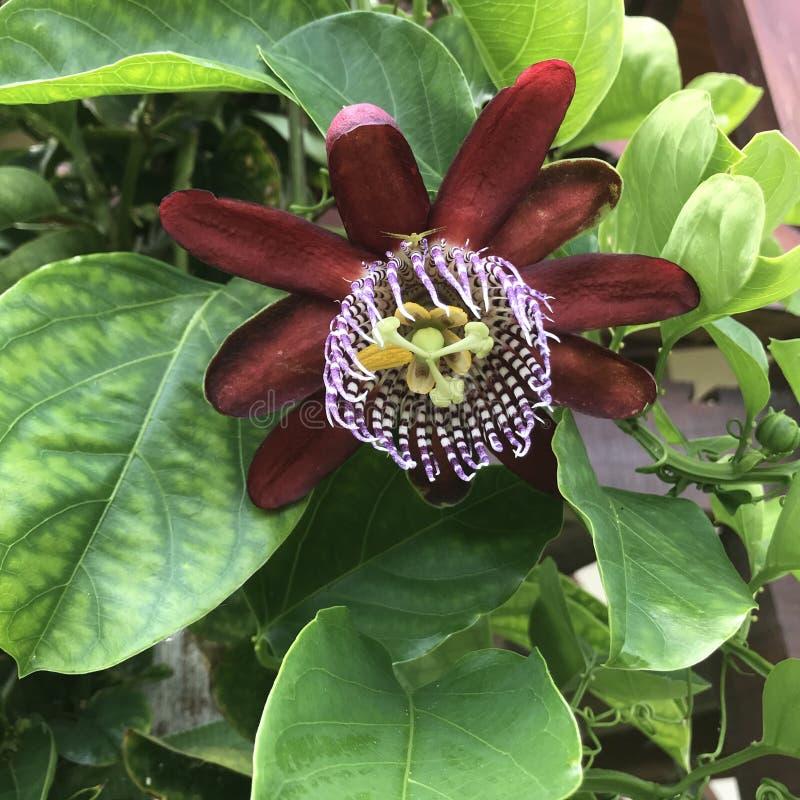 Passiflora edulis, Passionfruit, fruto de paixão fotos de stock