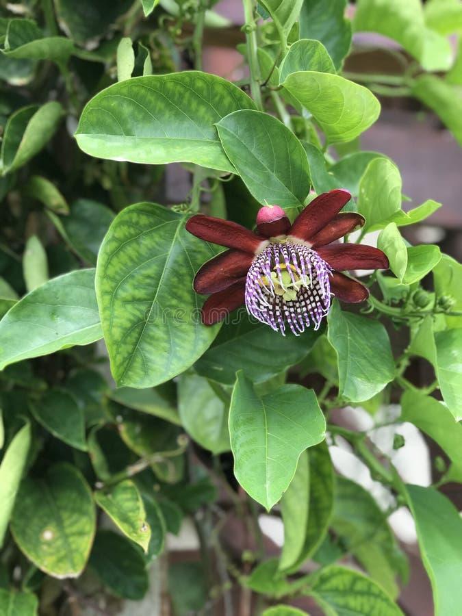 Passiflora edulis, Passionfruit, frutto della passione fotografia stock libera da diritti