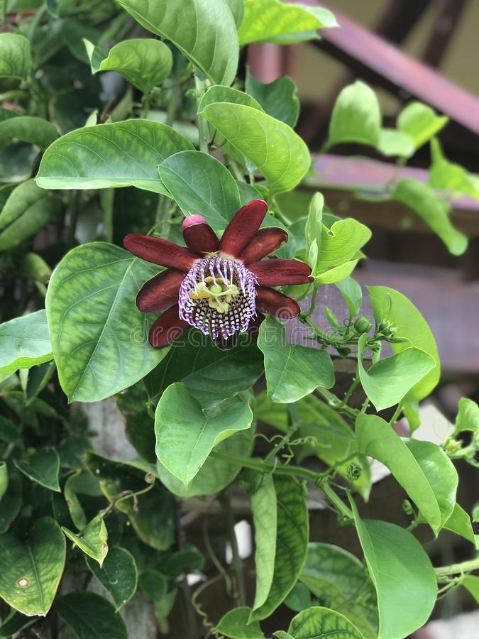 Passiflora edulis, Passionfruit, Passion fruit. Argentina in summer time. time of flowering royalty free stock images
