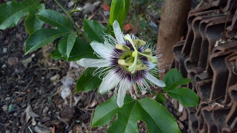Passiflora edulis is a vine species of passion flower. That is native to southern Brazil through Paraguay and northern Argentina royalty free stock photography
