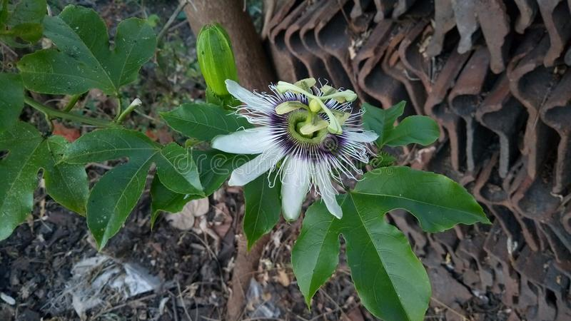 Passiflora edulis is a vine species of passion flower. That is native to southern Brazil through Paraguay and northern Argentina stock images