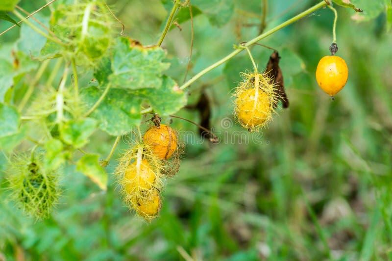Passiflora fetida, passiflora di Scarletfruit, fiore di fetore di passione immagini stock