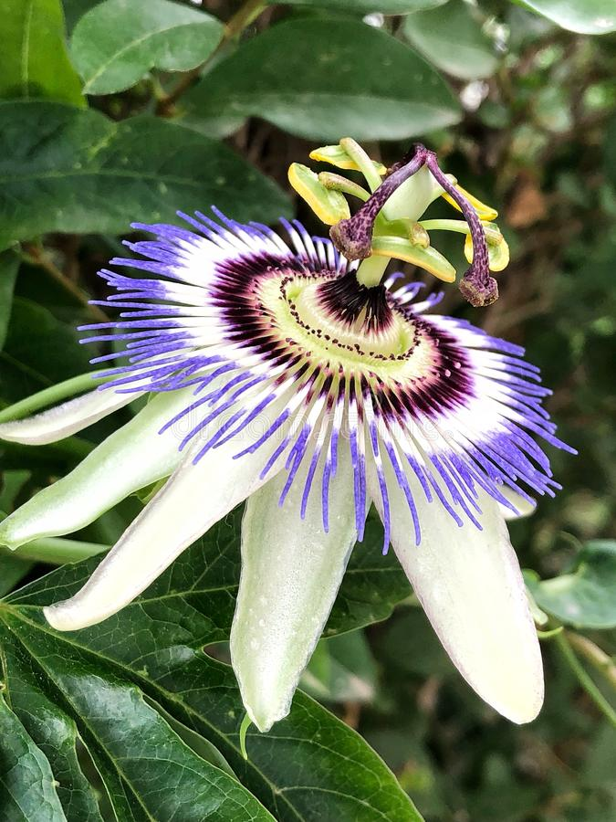 Passiflora. Flower in the royalty free stock photography