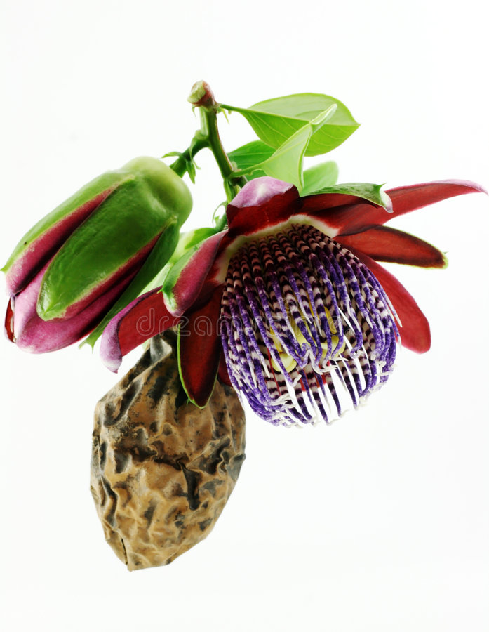 Passiflora. Flower and fruit. Life and death stock images