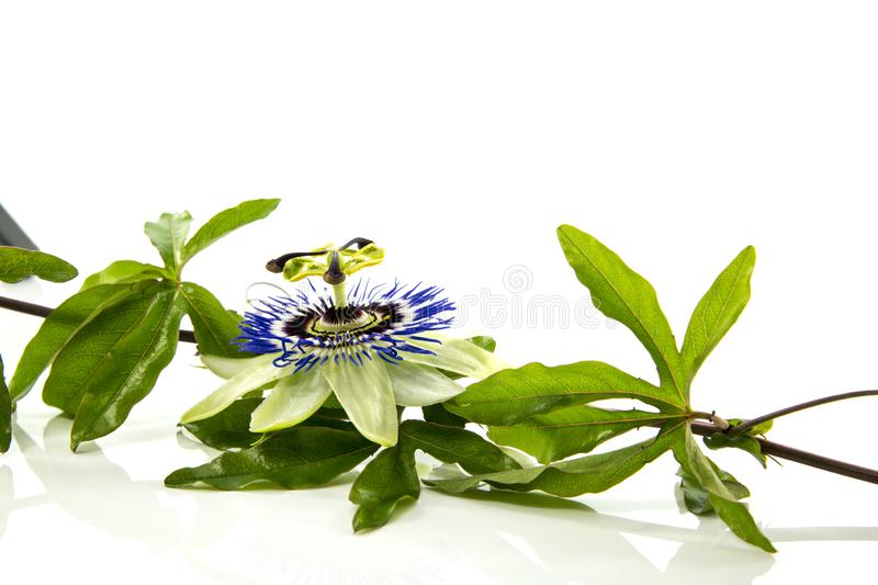 The blue passiflora flower. Passiflora flower isolated on white background royalty free stock photos