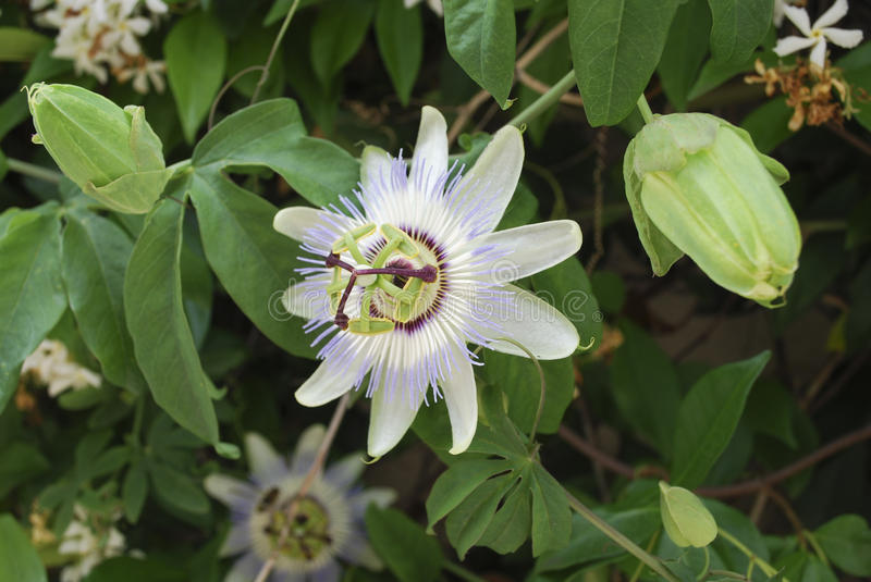 Passiflora flower. Passiflora, known also as the passion flowers or passion vines, the namesakes of the family Passifloraceae. They are mostly vines, with some royalty free stock photography