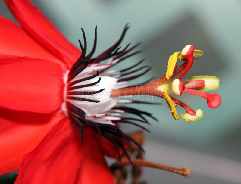 Passiflora Flower. Macro image partial view stock image