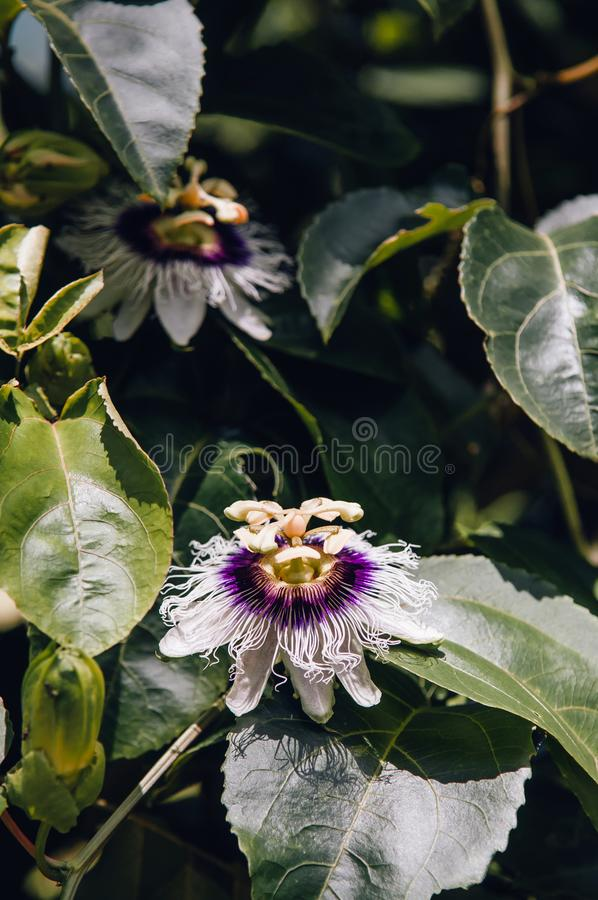 Passiflora Flower passion fruit and passionflower bush. Passiflora Flower passion fruit or passionflower bush. close up shot of passion vines stock image