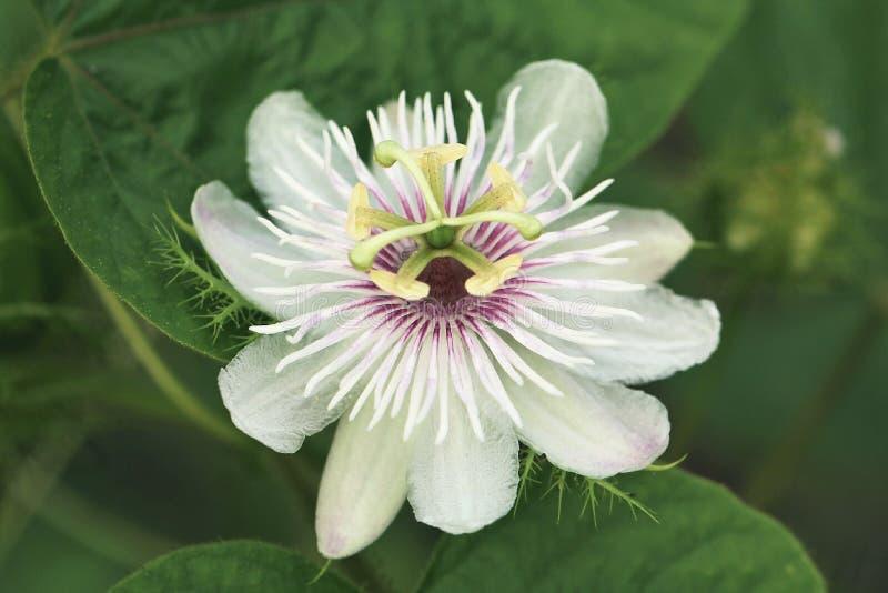 Passiflora. Flower plant stock photo