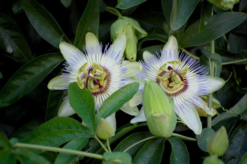 Passiflora flowers. Blooming passiflora flowers in the garden stock images