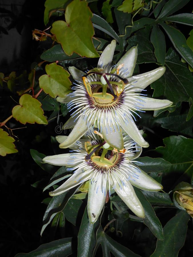 Passiflora flowers. On neutral background royalty free stock images