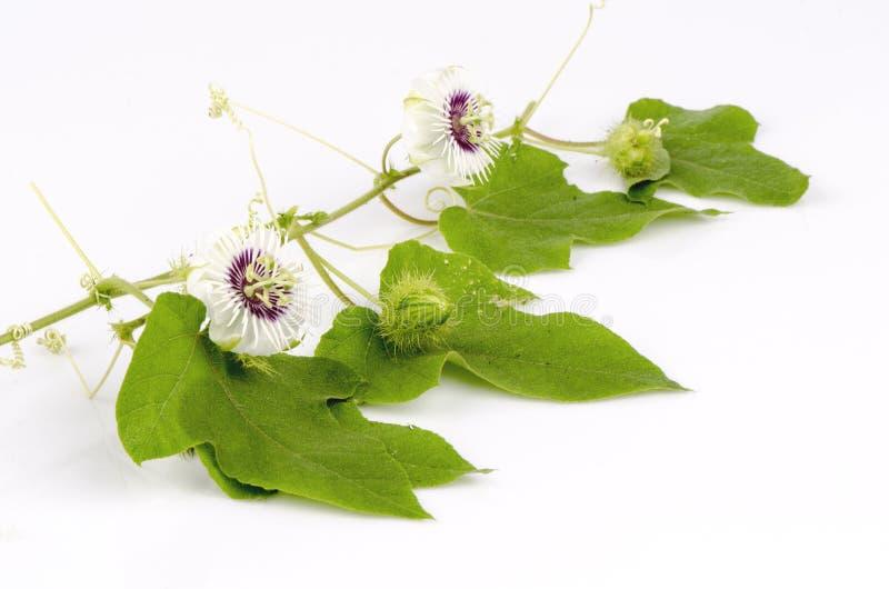 Passiflora foetida, Cuchnący passionflower, Szkarłatny owocowy passionflower, Śmierdzący passionflower. zdjęcie royalty free