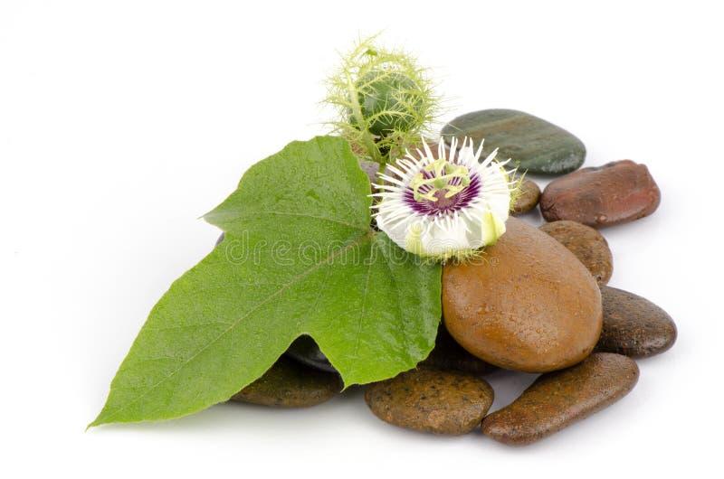 Passiflora foetida, Cuchnący passionflower, Szkarłatny owocowy passionflower, Śmierdzący passionflower. obraz stock