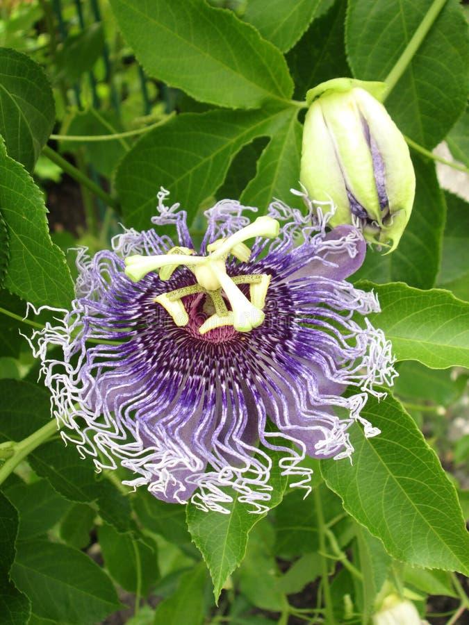 Passiflora foetida, Cuchnący passionflower, Szkarłatny owocowy passionflower, Śmierdzący passionflower zdjęcia royalty free